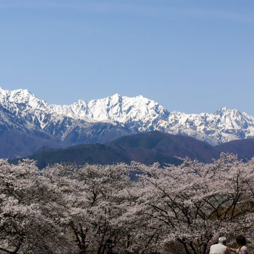 大町公園の桜と北アルプス