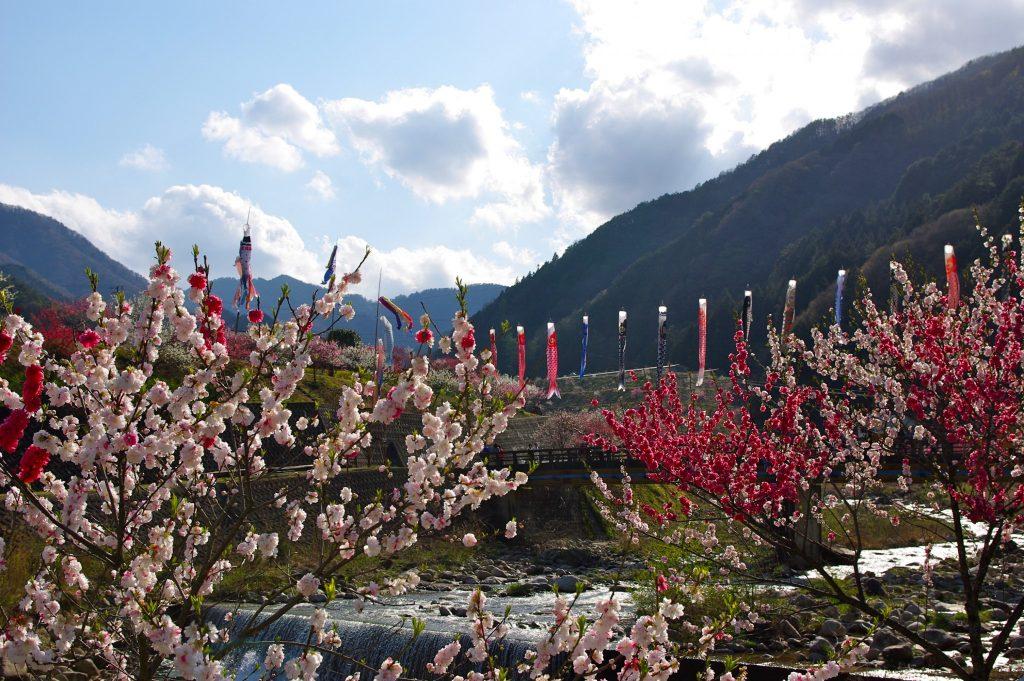 阿智村 花桃の里と鯉のぼり