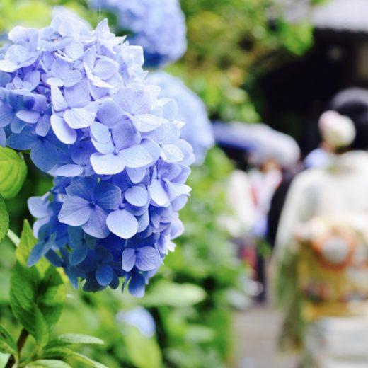 明月院のあじさい hydrangea flowers in Meigetsuin