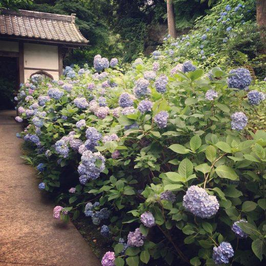 明月院の紫陽花2016